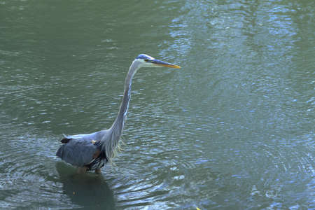 blue fish: A Blue Heron wading in the river looking for fish Stock Photo