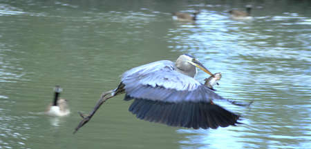 blue fish: A Blue heron flying with its fish supper