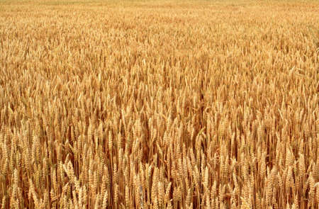 Field of wheat as far as the eye can see Stock Photo - 10685416