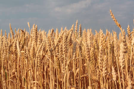 Wheat stalks forming a horizon line against the sky photo