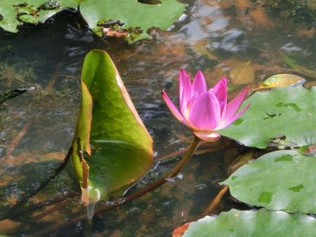reflect: Water lilies reflect in the pond Stock Photo