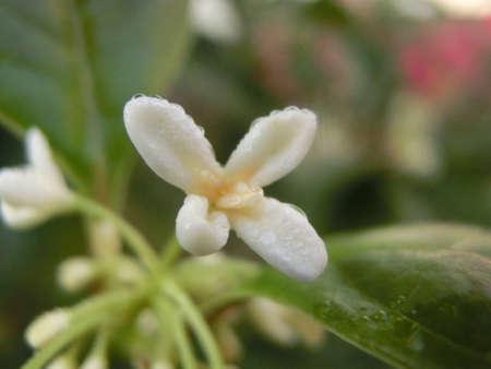 barringtonia: Beautiful flowers