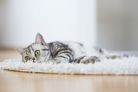 grey cat: British short hair cat lying on fur rug on wooden background