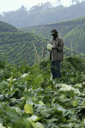 boh: A farmer harvests cabbages at a farm near the Sungai Palas Boh Tea Farm in Cameron Highland.