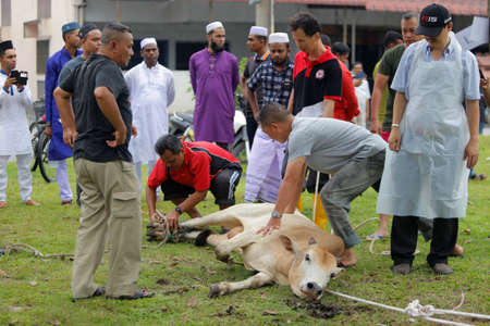 Muslims hold and tie up a cow before slaughtering during Eid Al-Adha Al Mubarak, the Feast of Sacrifice cerebration which held at  Masjid Muhammadiah, the Chinese Mosque in Ipoh, Perak, Malaysia.