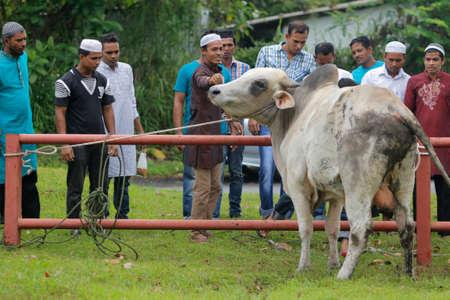 彼らはイードアル イードムバラク アル マスジド Muhammadiah、イポー、ペラ州、マレーシアの中国のモスクで開催犠牲の饗宴大脳作用の間に屠殺のためにそれを結ぶ前に、牛を冷静にイスラム教徒みてください。