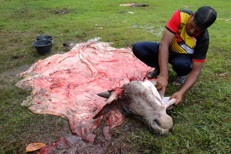 A muslim slaughters a cow during Eid Al-Adha Al Mubarak, the Feast of Sacrifice cerebration which held at  Masjid Muhammadiah, the Chinese Mosque in Ipoh, Perak, Malaysia.