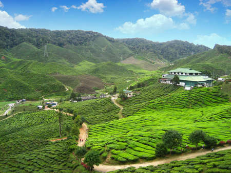 bahrat tea plantation on cameron highland photo