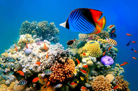 basslet: Esta mariposa en un arrecife de coral Foto de archivo