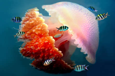 dangerous reef: Peaceful image of a mosaic jellyfish