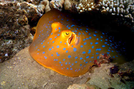 spotted ray: Blue Spotted Ray, Koh Tao island, Thailand