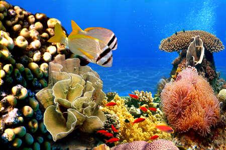 산호 식민지와 Doublebar 도미 사진 스톡 콘텐츠
