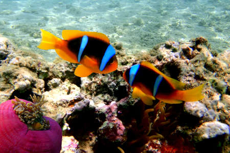 amphiprion bicinctus: Red Sea Anemonefish (amphiprion bicinctus) Stock Photo