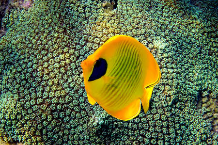 beach butterfly: Masked Butterfly Fish (Chaetodon semilarvatus) Stock Photo