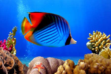 トゲチョウチョウウオ (チョウチョウウオぎょしゃ座) とサンゴ礁、紅海、エジプト 写真素材
