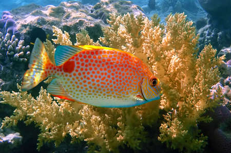Orange spotted spinefoot (Siganus guttatus), Koh Tao island, Thailand Stock Photo - 8576290
