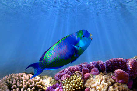 parrotfish: Parrotfish on the coral reef, Red Sea, Egipt