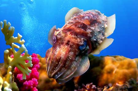 Cuttlefish(Sepiida), Koh Chang island, Thailand Banco de Imagens