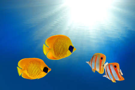Masked butterflyfish and Copperband butterflyfish Stock Photo - 9421112