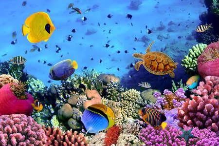 peces de acuario: Foto de una colonia de coral, mar rojo, Egipto