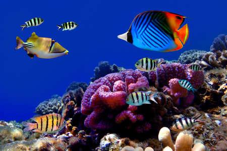 リーフ上に珊瑚のコロニーの写真 写真素材