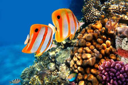 Copperband butterflyfish (Chelmon rostratus) 산호초에 스톡 콘텐츠