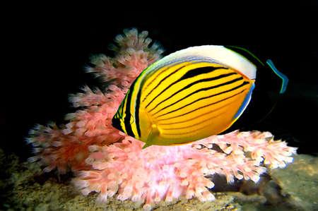 Polype poissons de la mer Rouge en Égypte.  Banque d'images - 9488592