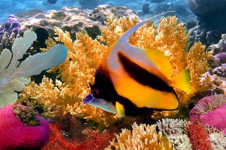 submersion: Pennant coralfish or bannerfish