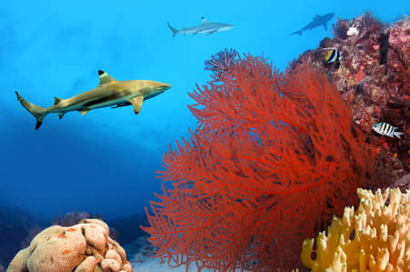 Whitetip sharks over coral reef Stock Photo - 9488762