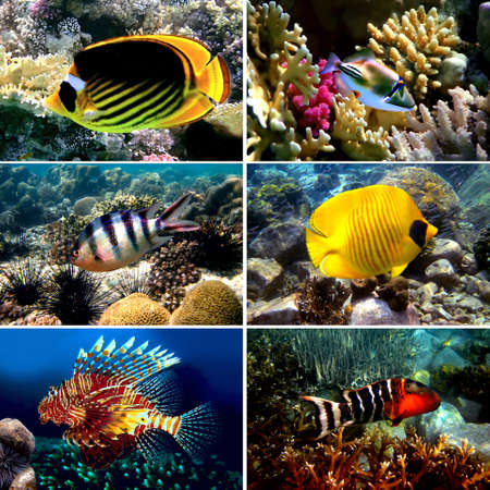 Tropical fish collection, Nemofish, Abudefduf sexfasciatus, Masked Butterfly Fish, Chaetodon fasciatus  photo