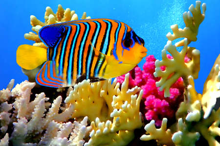 reef fish: regal angelfish (pygoplites diacanthus)