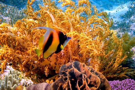 gorgonian: Gorgonian fan  and Pennant coralfish