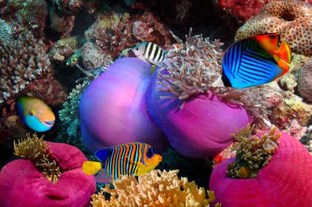 Threadfin butterflyfish (Chaetodon auriga)와 산호초, 홍해, 이집트