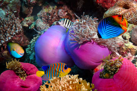 underwater diving: Threadfin butterflyfish (Chaetodon auriga) and coral reef, Red Sea, Egypt