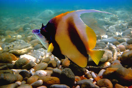 Pennant coralfish (Heniochus acuminatus), also known as the longfin bannerfish photo