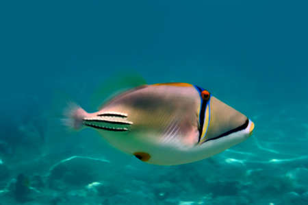 triggerfish: fish (Rhinecanthus assasi), Red Sea, Egypt