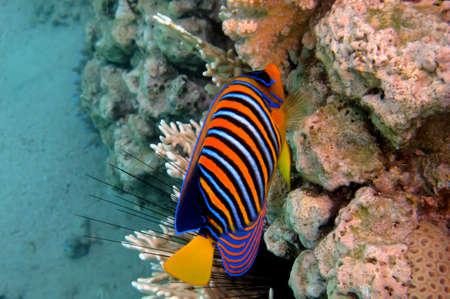 pygoplites diacanthus: Regal angelfish (pygoplites diacanthus),Red Sea, Egypt
