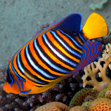 hard coral: Regal angelfish (pygoplites diacanthus), Red Sea, Egypt