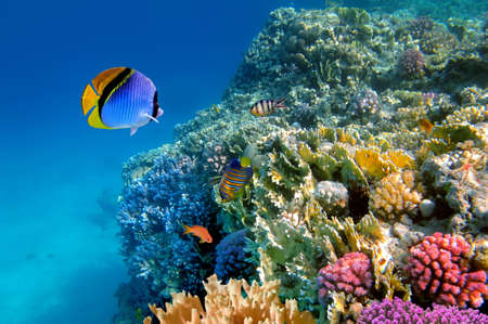 Threadfin butterflyfish (Chaetodon auriga), Red Sea, Egypt Stock Photo - 9552745