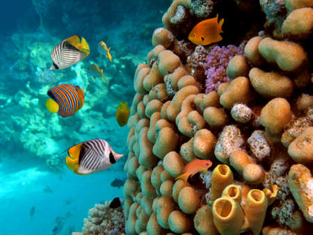 チューブのサンゴ。紅海で撮影します。 写真素材