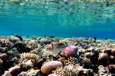 fish (Rhinecanthus assasi), Red Sea, Egypt Stock Photo - 9552742