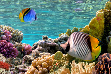 butterflyfish: Threadfin butterflyfish (Chaetodon auriga), Red Sea, Egypt