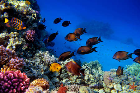 surgeonfish: School Chocolate Surgeonfish (Acanthurus xanthopterus), Red Sea, Egipt Stock Photo
