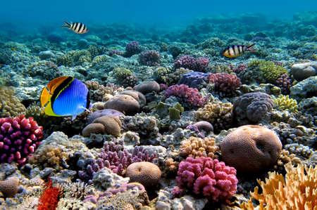 coral colony: Foto di una colonia di corallina su una scogliera, Mar Rosso, Egitto