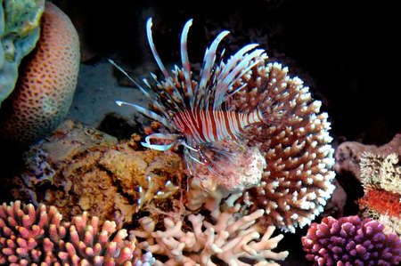 pterois: Red lionfish (Pterois russelli), Red Sea, Egypt.