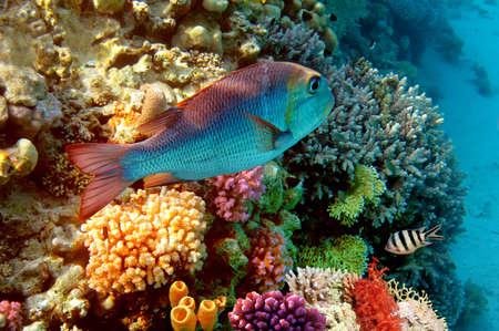 エジプトの紅海のサンゴ礁