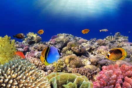 水中世界。紅海のサンゴ礁の魚。エジプト。