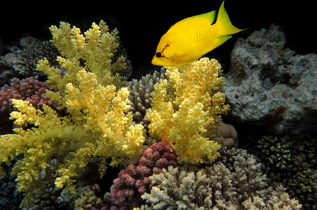 rabbitfish: Coral rabbitfish (siganus corallinus)  in the Red Sea, Egypt.