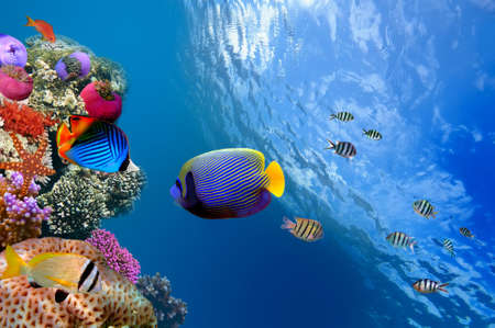 fish tank: Emperor Angelfish (Pomacanthus imperator), Red Sea, Egypt