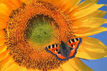 European Peacock on sunflower against a blue sky photo
